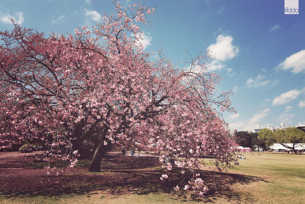 Фото - Цветущий вишни